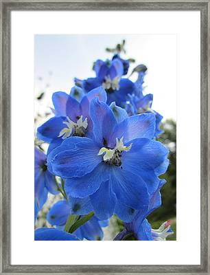 Blue Delphinium Rising Framed Print by MTBobbins Photography