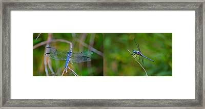 Blue Dragon Fly Wide Print Framed Print