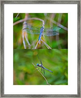 Blue Dragon Fly Framed Print