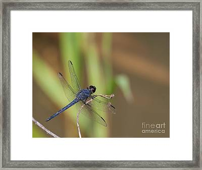 Blue Dragonfly Framed Print by Dale Nelson