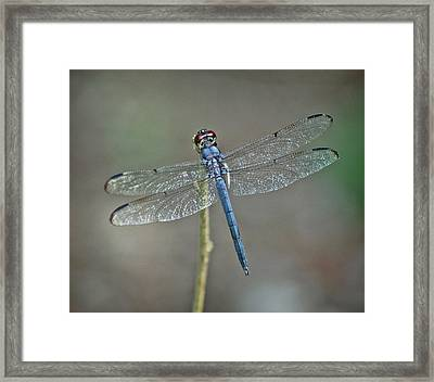 Framed Print featuring the photograph Blue Dragonfly II by Linda Brown