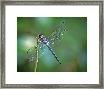 Framed Print featuring the photograph Blue Dragonfly by Linda Brown