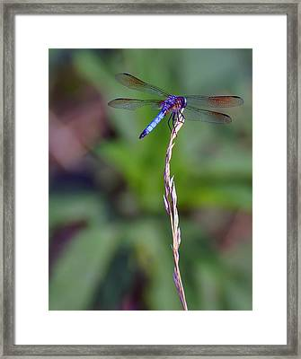 Blue Dragonfly On A Blade Of Grass  Framed Print by Chris Flees