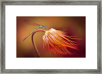 Blue Dragonfly On A Dry Flower Framed Print by Jaroslaw Blaminsky