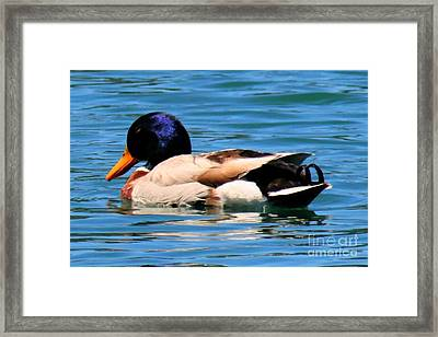 Blue Duck Framed Print by Tap On Photo