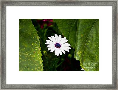 Blue Eye Daisy Framed Print