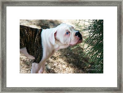 Blue Eye Pup Framed Print by Berta Keeney
