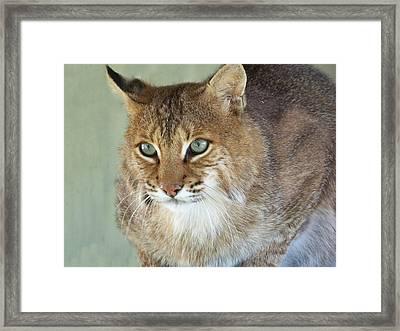 Blue Eyed Bobcat Framed Print by Jennifer  King