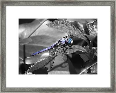 Blue Eyed Dragonfly Framed Print