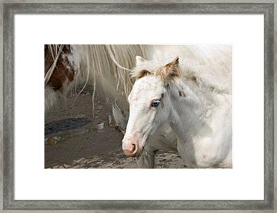 Blue Eyed Foal Framed Print by Liz  Alderdice