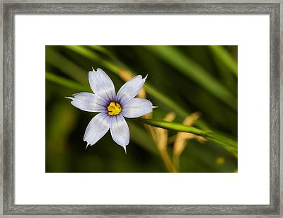 Blue Eyed Grass Framed Print by Mike Farslow