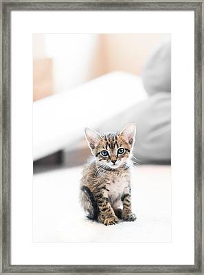 Blue Eyed Kitten Framed Print by Shelby  Young