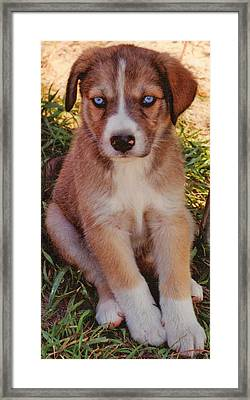 Blue Eyed Pup Framed Print by Dennis Nadeau