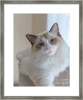 Blue-eyed Ragdoll Kitten Framed Print by Peta Thames
