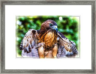 Blue-eyed Red Tail Hawk Framed Print by John Haldane