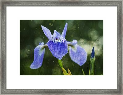 Blue Flag Iris _iris Versicolor__ Framed Print by Julie DeRoche