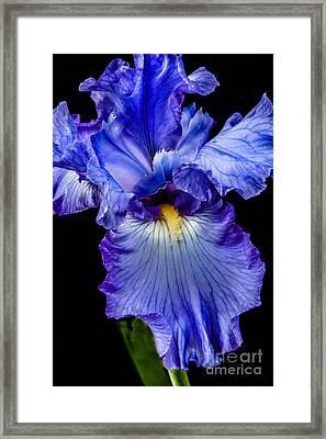 Blue Flag Framed Print