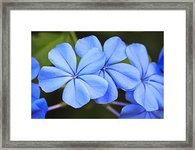 Blue Flax Framed Print by Adam Romanowicz