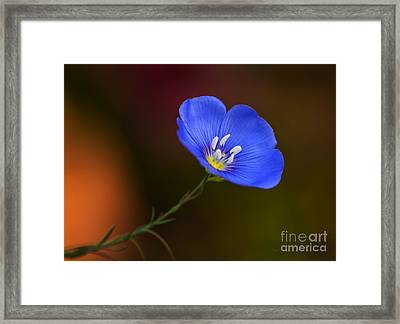 Blue Flax Blossom Framed Print by Iris Richardson