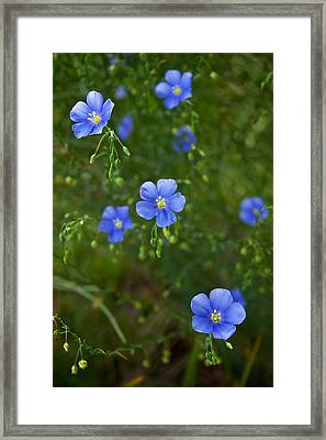 Blue Flax Framed Print