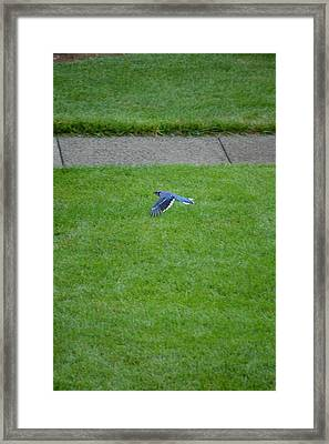 Blue Flight Framed Print by Sonali Gangane