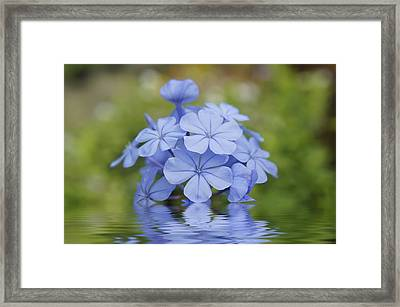 Blue Flowers Framed Print by Aged Pixel