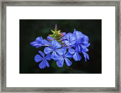 Blue Flowers - Cape Plumbago Framed Print by Nikolyn McDonald