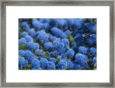 Blue Flowers Framed Print by Svetlana Sewell