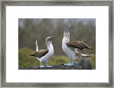 Blue-footed Boobies Courting Galapagos Framed Print by Tui De Roy
