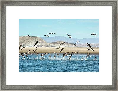 Blue-footed Boobies Feeding Framed Print by Christopher Swann