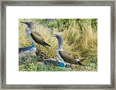 Blue-footed Boobies Framed Print
