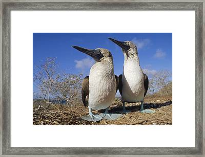 Blue-footed Booby Courting Couple Framed Print by Tui De Roy