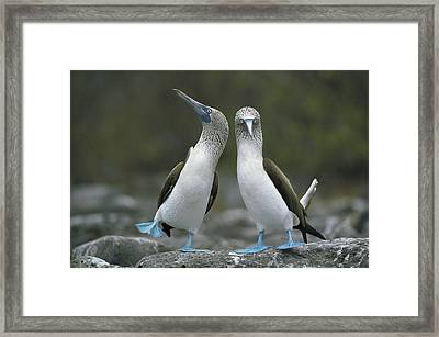 Blue Footed Booby Dancing Framed Print by Tui De Roy