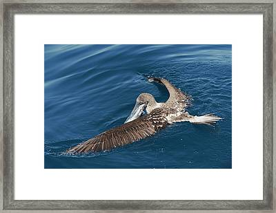 Blue-footed Booby Feeding Framed Print