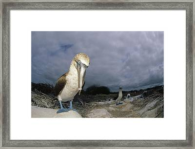 Blue-footed Booby Galapagos Islands Framed Print by Tui De Roy