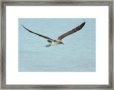 Blue-footed Booby In Flight Framed Print