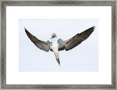 Blue-footed Booby Landing Galapagos Framed Print by Tui De Roy