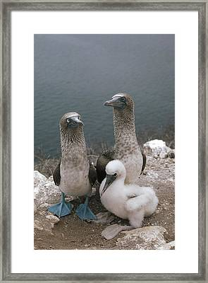 Blue-footed Booby Parents With Chick Framed Print by Tui De Roy