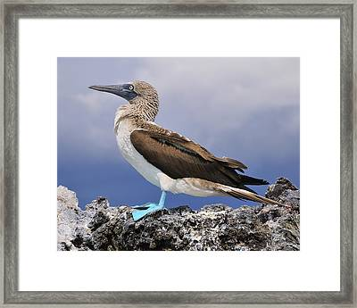Blue-footed Booby Framed Print by Tony Beck