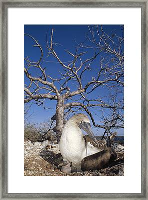Blue-footed Booby With Chick Galapagos Framed Print by Tui De Roy