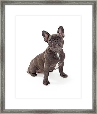 Blue French Bulldog  Framed Print by Susan Schmitz