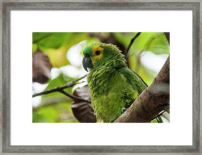 Blue-fronted Parrot Amazona Aestiva Framed Print