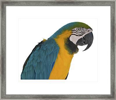 Blue Gold Macaw Framed Print