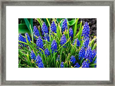 Blue Grape Hyacinth 2 Framed Print by Steve Harrington