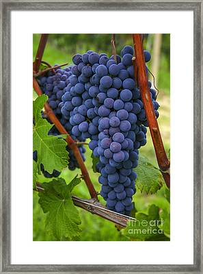 Blue Grapes Framed Print by Patricia Hofmeester