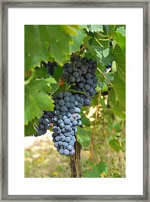 Blue Grapes Framed Print by Paul Van Baardwijk