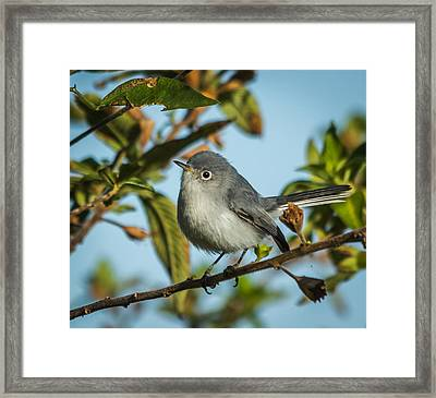 Blue-gray Gnatcatcher Framed Print