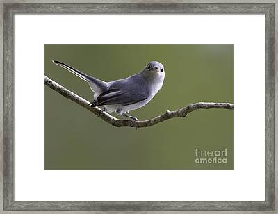 Blue-gray Gnatcatcher Framed Print