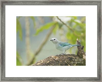 Blue-gray Tanager Framed Print