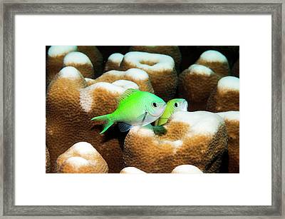 Blue-green Chromis On Coral Framed Print